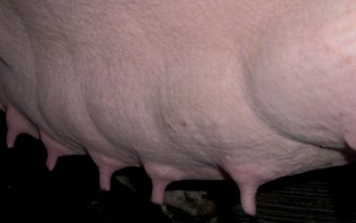 Robust, self contained sow and Numerous nipples to naturally breastfeed more piglets