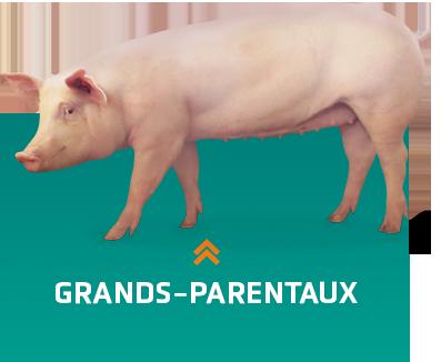 Reproducteurs porcins grands-parentaux