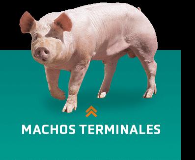 Machos terminales