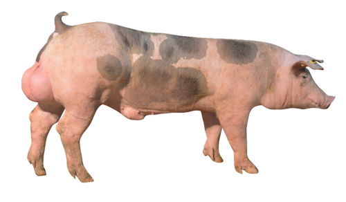 pig breeder P90