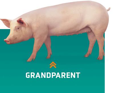 Grandparents pig breeders