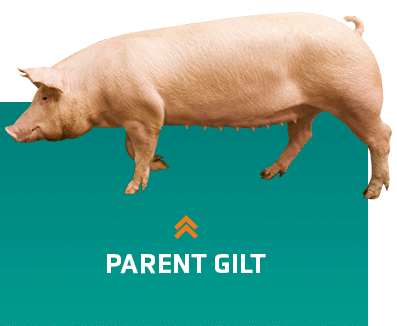 Lineage of parent sows in pig genetics