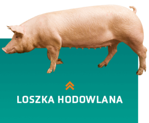 Lignée de truies parentales en génétique porcine