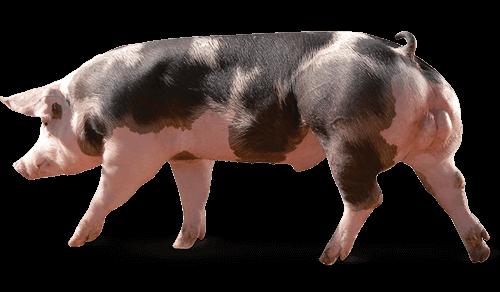 reproducteur porcin P90