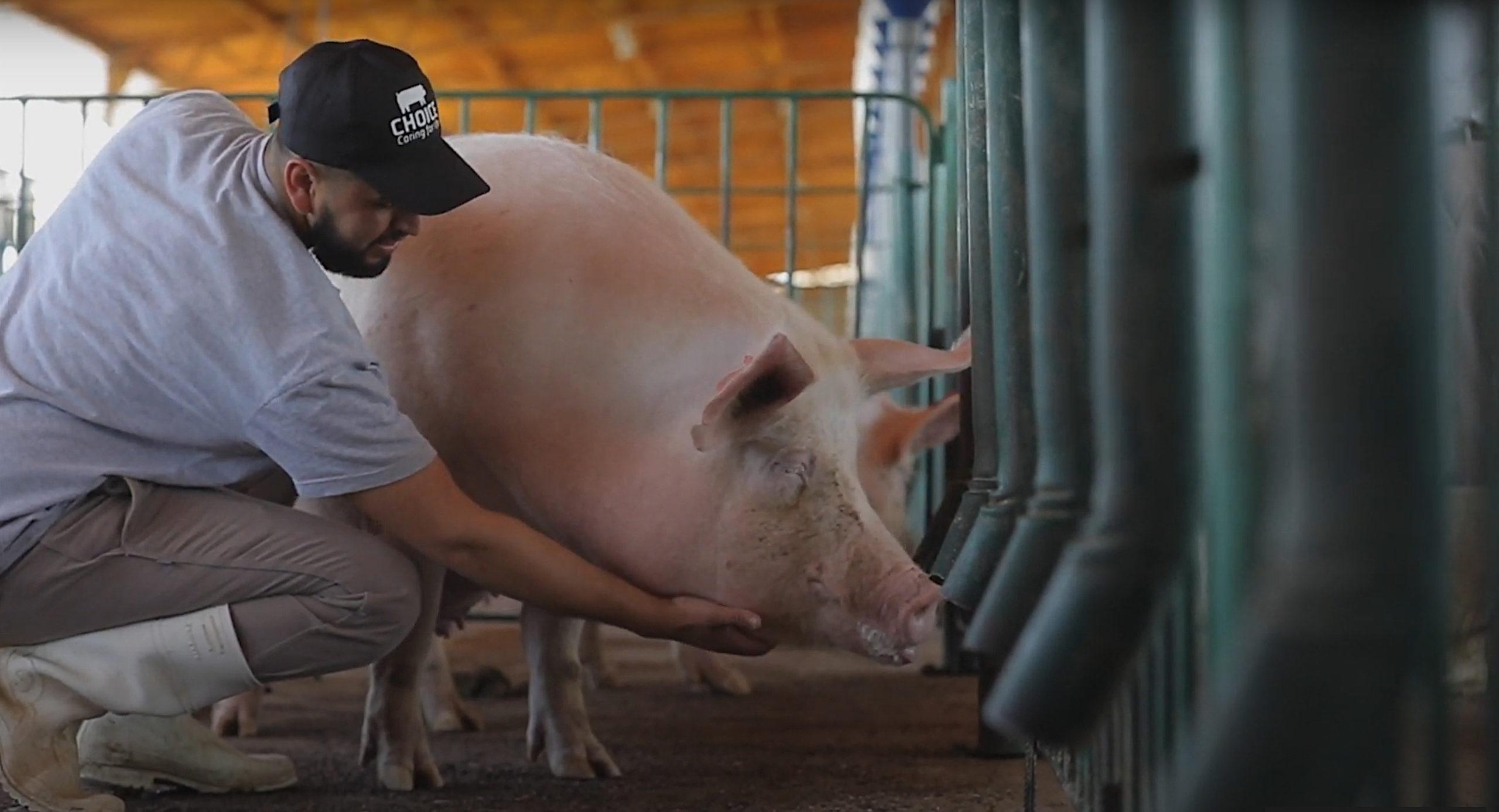 świnia upały